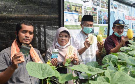 Seed Teaching Farm Politeknik Negeri Lampung Produksi Benih Melon Mini Makuwauri